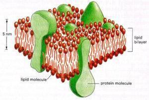 перекисное окисление липидов в мембранах