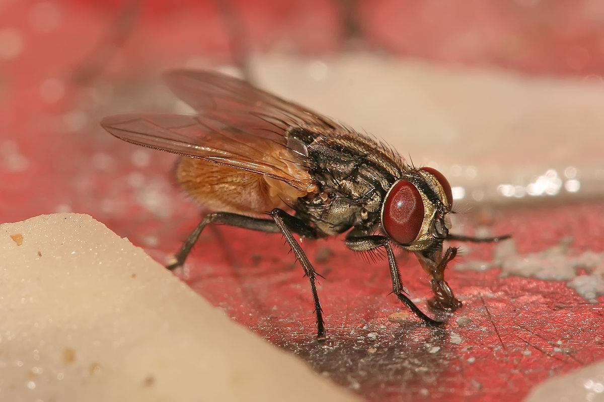болезнь вызванная личинками мух