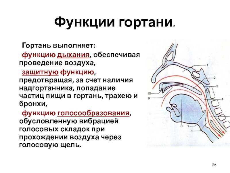 Надгортанник? - надгортанник фото у взрослых - запись пользователя светлана (svetlana0526) в сообществе здоровье - от трех до шести лет в категории лор (отит, насморк и проч) - babyblog.ru