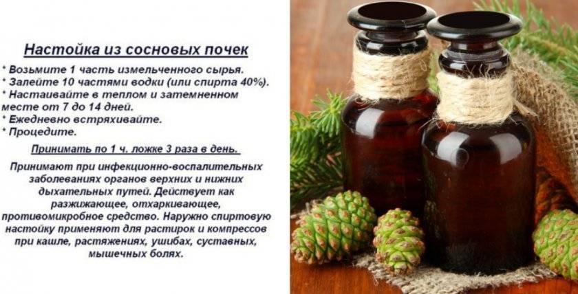Лечебные свойства сосновых почек для лечения бронхита и кашля