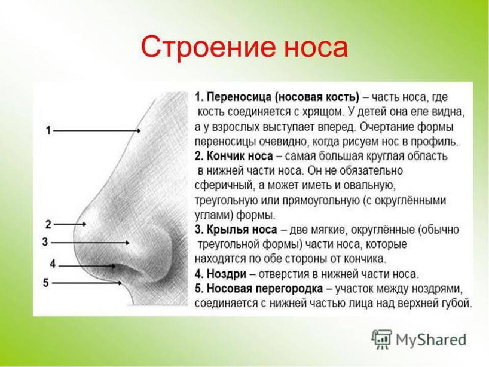 структура носа