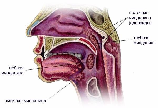 трубные миндалины
