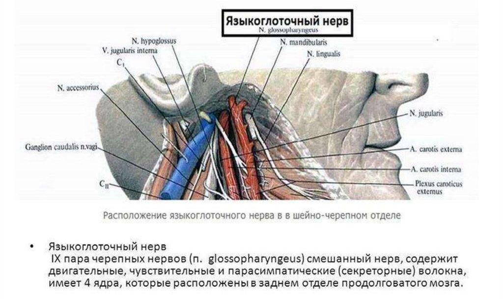 Языкоглоточный нерв: симптомы поражения, диагностика и лечение