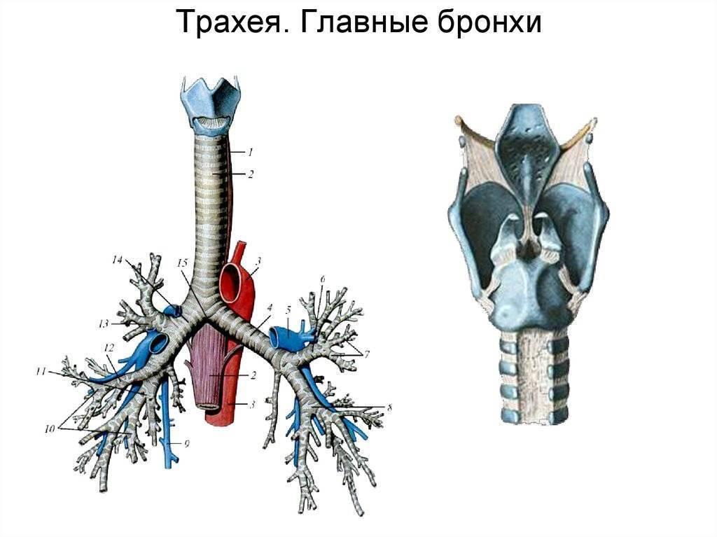 Cпланхнология - анатомия внутренних органов (учение о внутренностях)