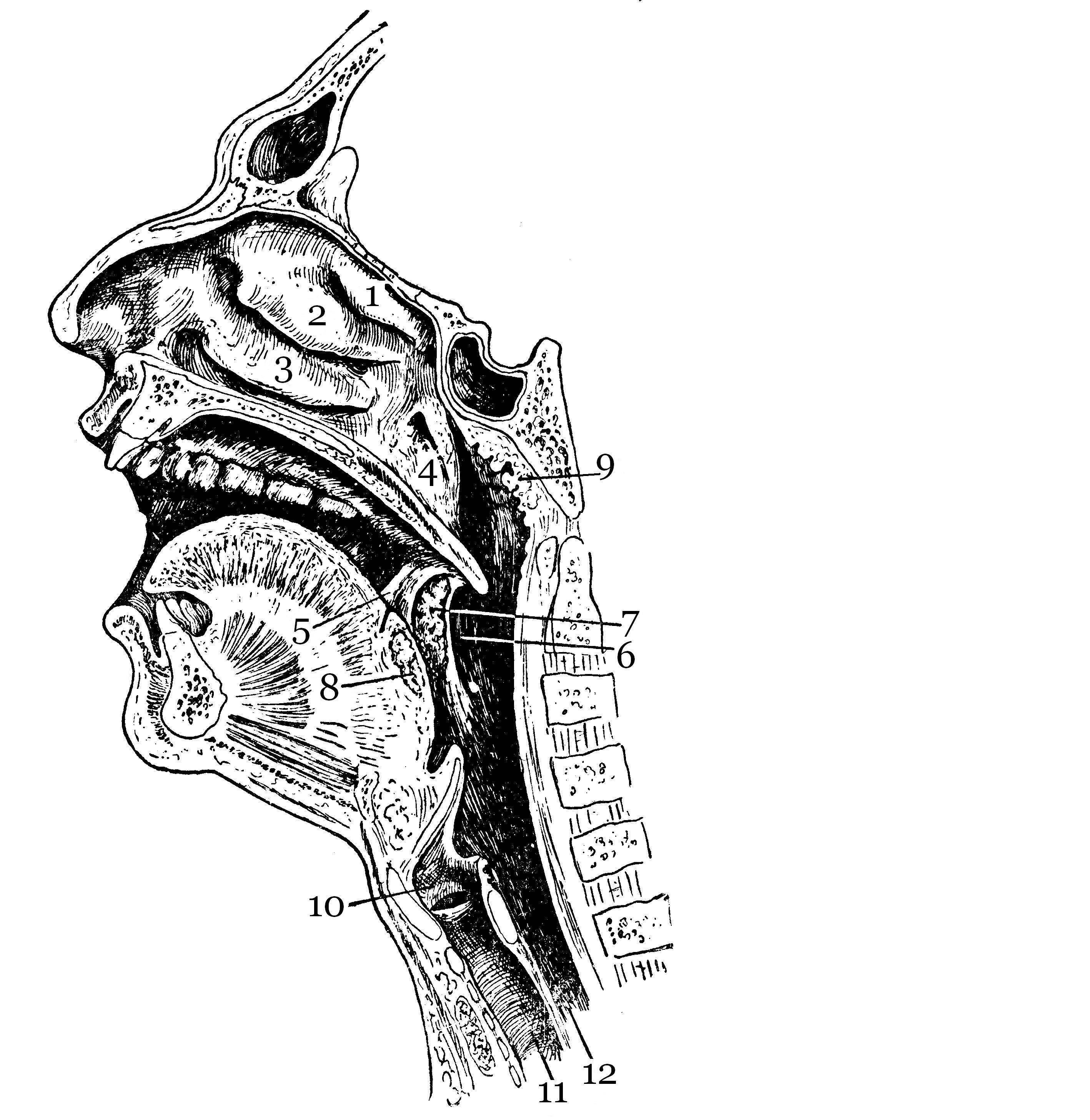 Почему увеличивается и воспаляется язычная миндалина
