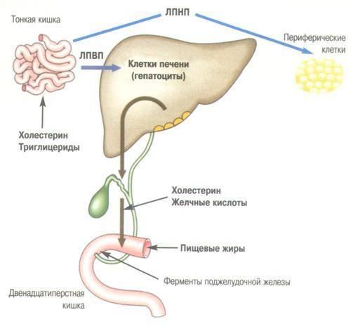 выработка холестерина в организме