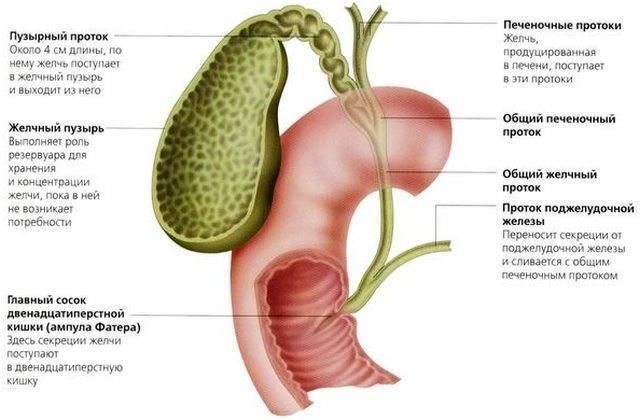Желчный пузырь у детей: функции, заболевания, диагностика, лечение