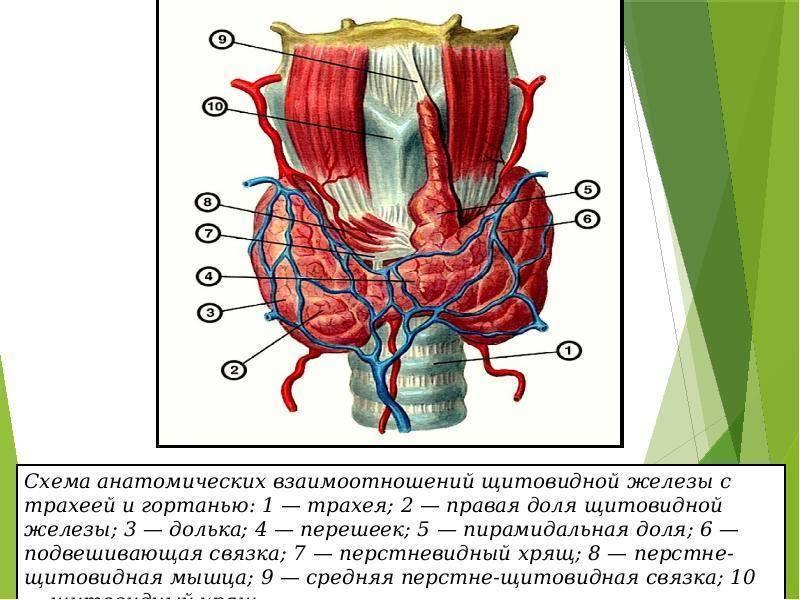 гистология щитовидной железы