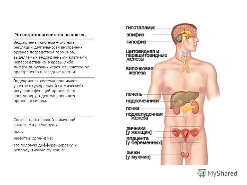 эндокринная система что это