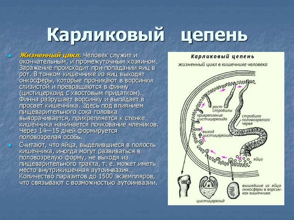 Гименолепидоз (карликовый цепень)