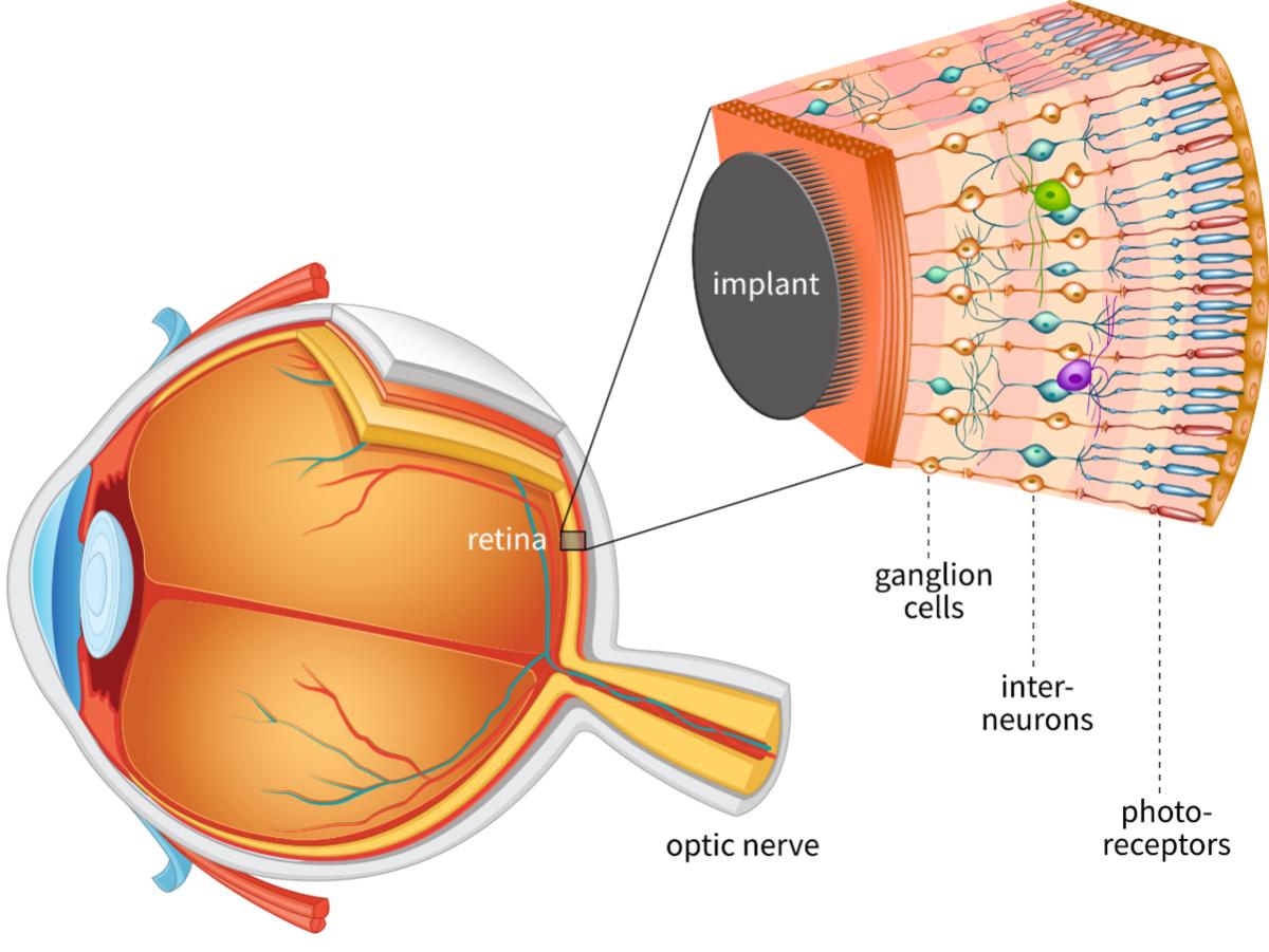 Строение и функции глаза.
