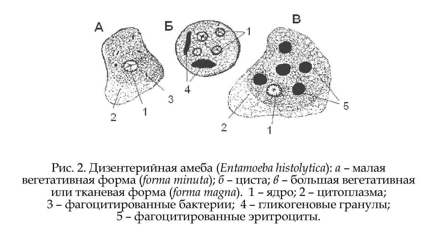 Строение и жизненный цикл дизентерийной амебы
