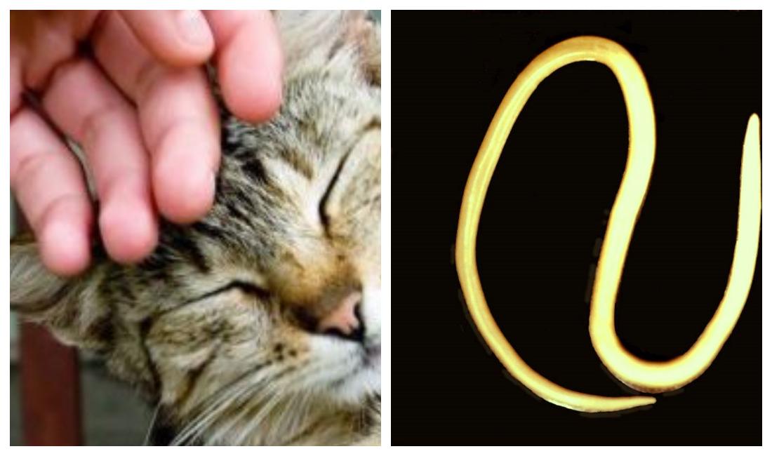 Чем и какими паразитами можно заразиться от кошки человеку   все о паразитах