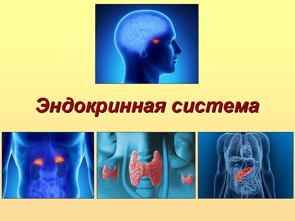 Эндокринная система человека википедия