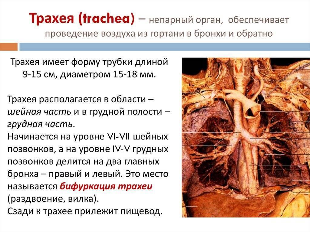 Трахеит у взрослых