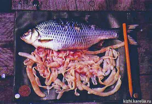 Селитерная рыба: описание, особенности, фото