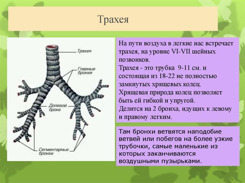 длина трахеи человека составляет