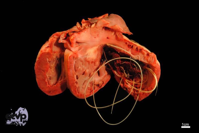паразиты в сердце