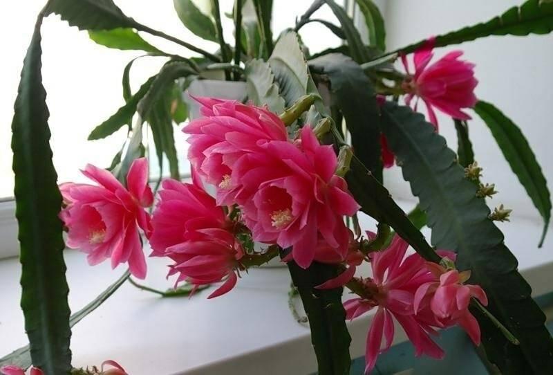 """Кактус """"эпифиллум dreamland"""": фото, виды растения"""