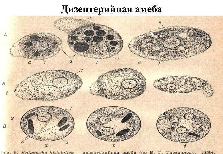 Формы дизентерийной амебы их строение таблица. класс саркодовые — дизентерийная амеба