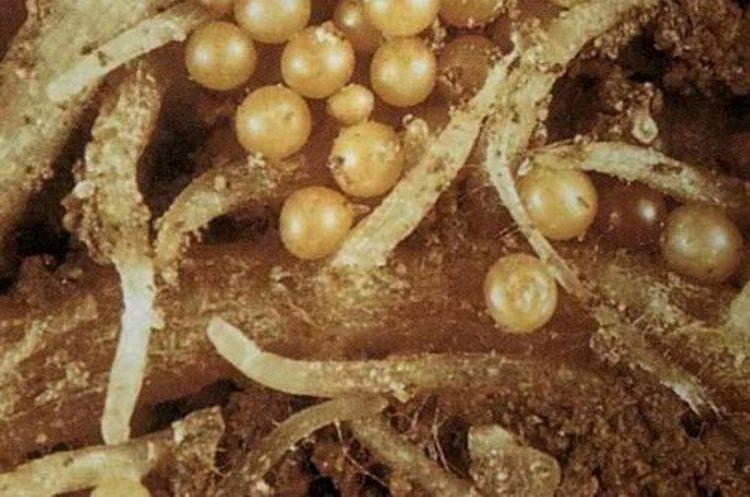 Яйца глист симптомы