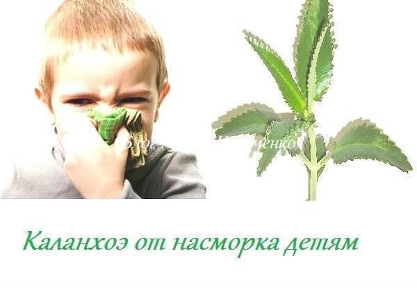 каланхоэ лечебные свойства при насморке детям