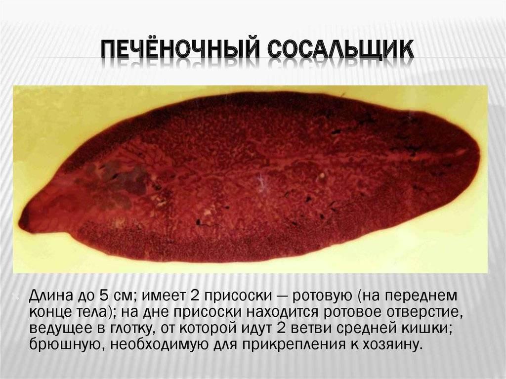 Печёночная двуустка - fasciola hepatica - qwe.wiki