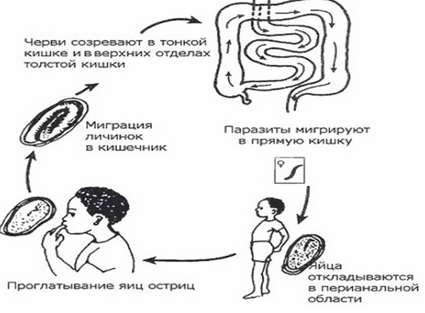 Где обитают острицы в организме человека?