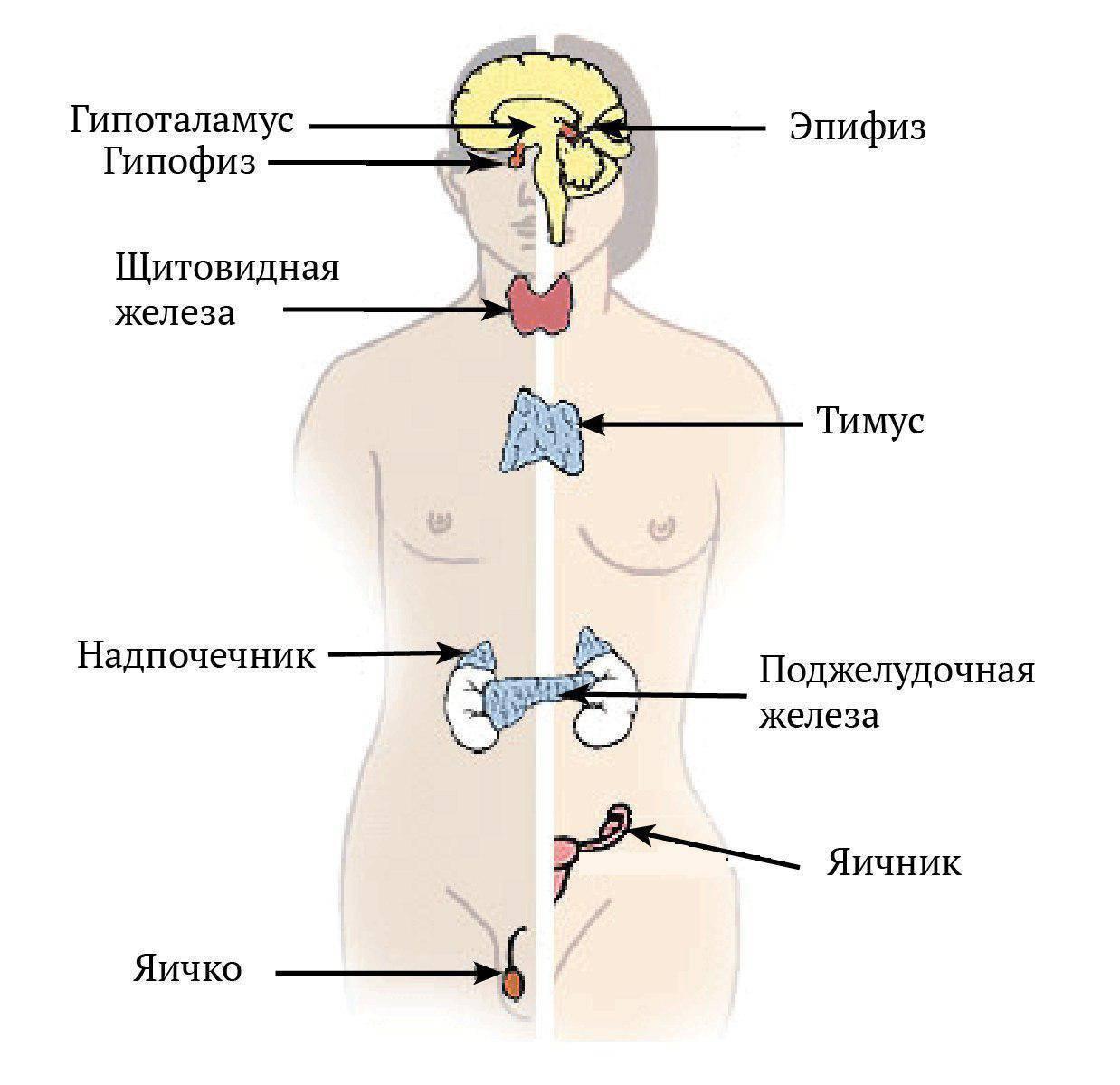 Эндокринная система: заболевания, лечение, органы и их функции