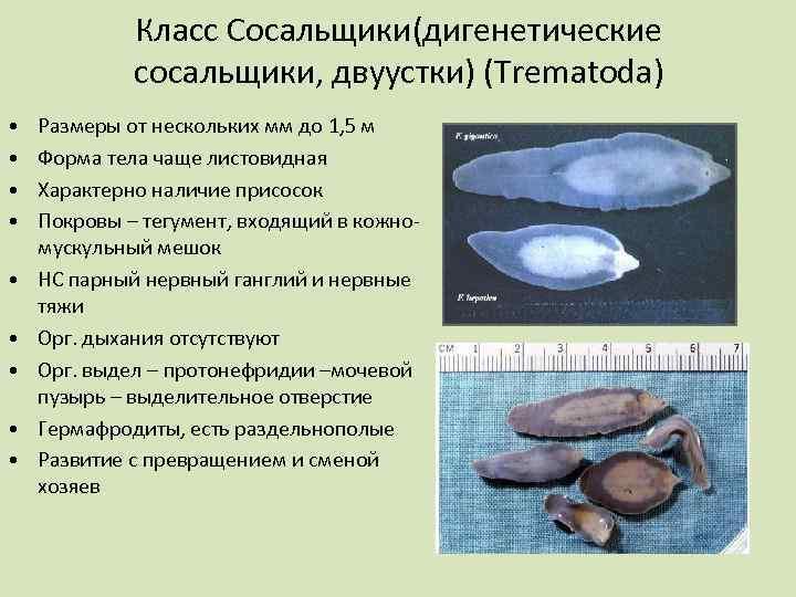 червь трематода
