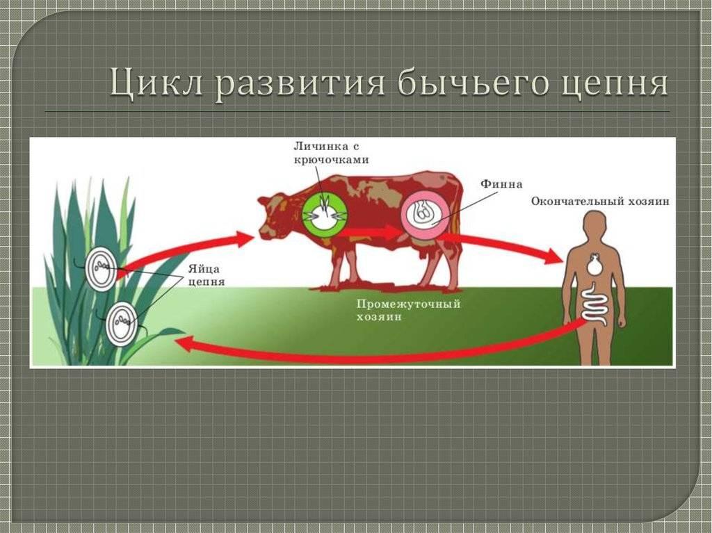 Первые признаки заражения бычьим цепнем и как от него избавиться