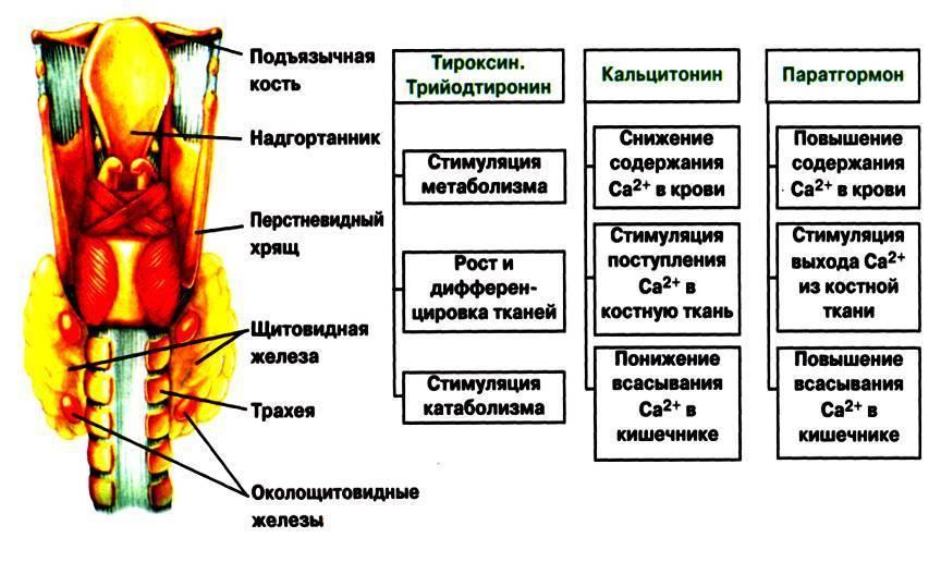 Что входит в состав гормона щитовидной железы