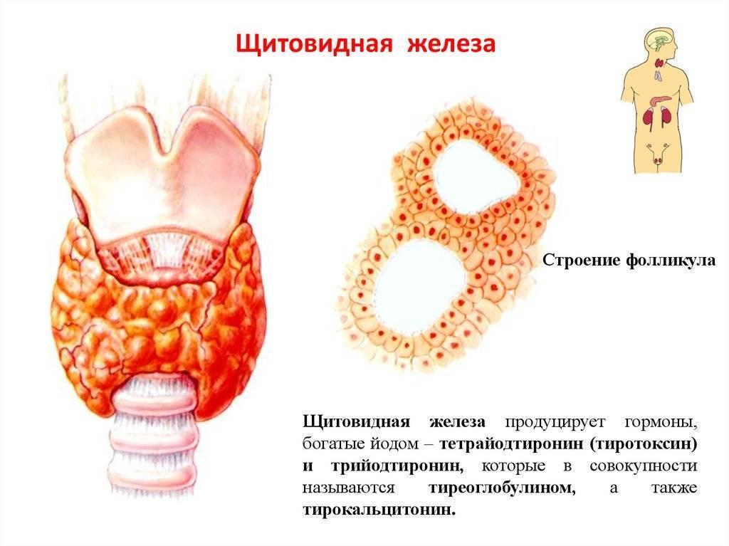 топография щитовидной железы