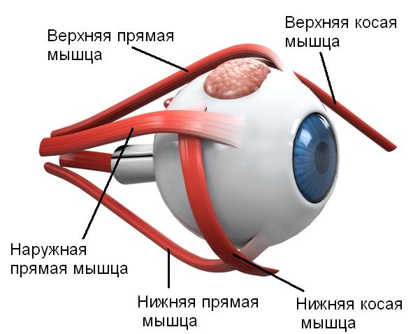 Анатомия: радужка, радужная оболочка, iris.
