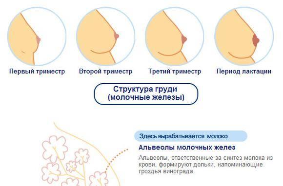 Грудь набухает и болит перед месячными. надо ли к врачу? строение молочной железы