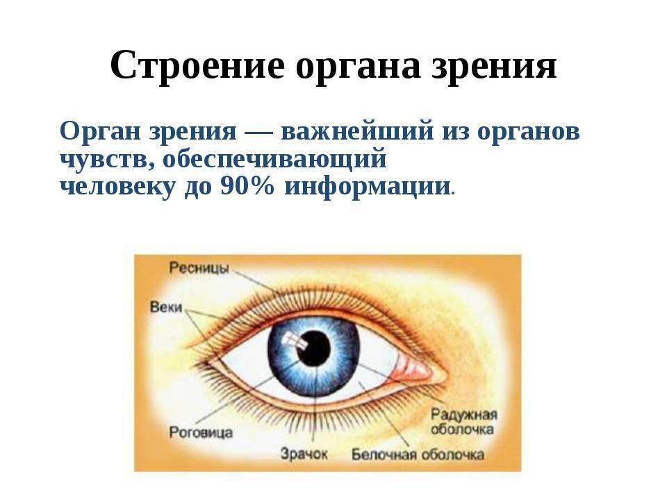 Анатомия органа зрения