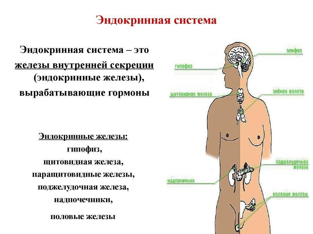 значение эндокринной системы