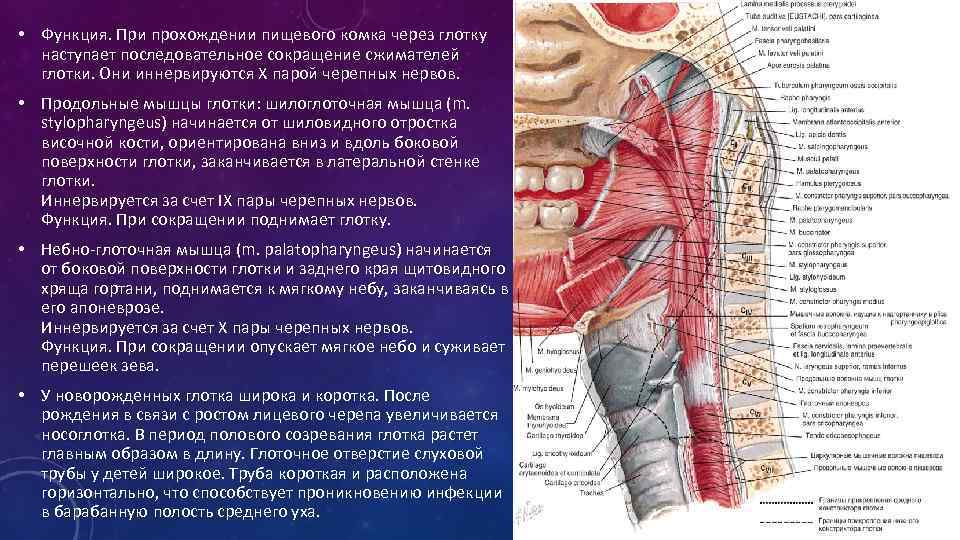 Клиническая анатомия и физиология глотки