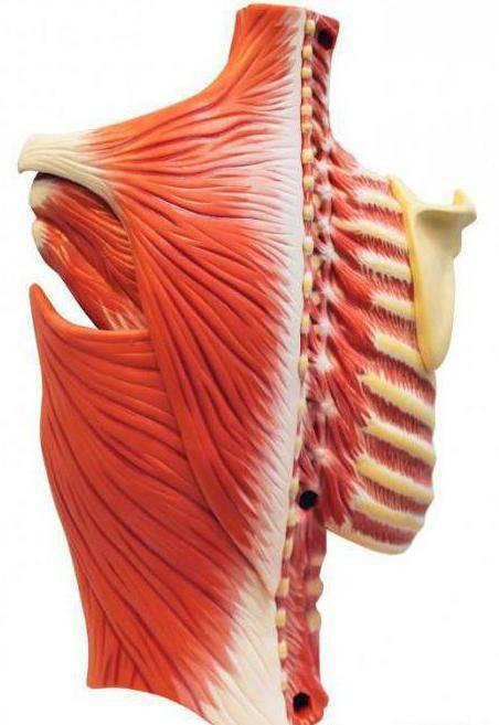 Когда болит грудная клетка: межреберная невралгия и её симптомы