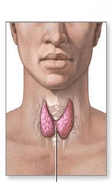 где щитовидная железа
