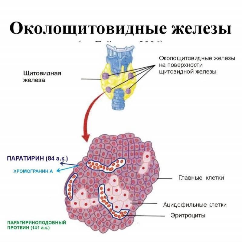 Аденома паращитовидной железы: симптомы, причины, диагностика, прогноз жизни, лечение без операции, диета, профилактика