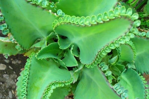 Секреты избавления от гайморита при помощи каланхоэ. рецепты приготовления целебных средств из растения