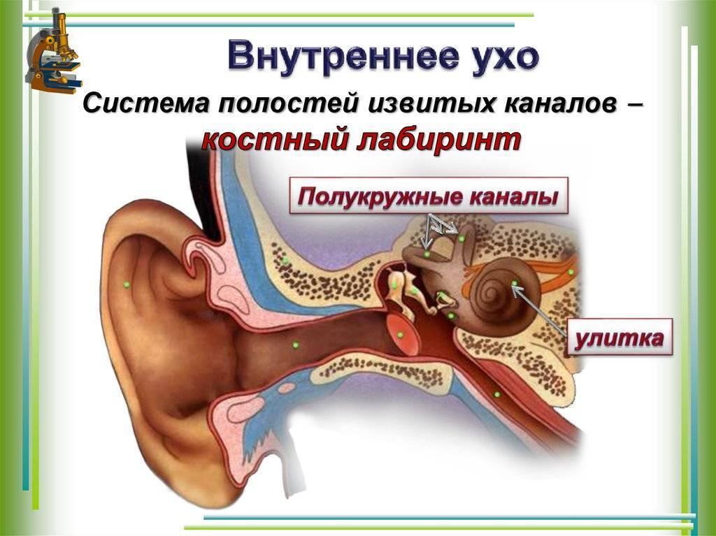 Анатомия уха: строение, функции, физиологические особенности