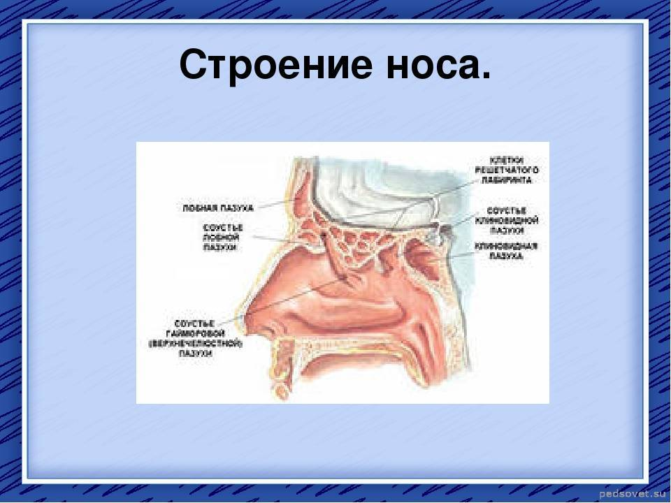 Энциклопедия - нос