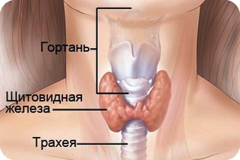 где находится щитовидка
