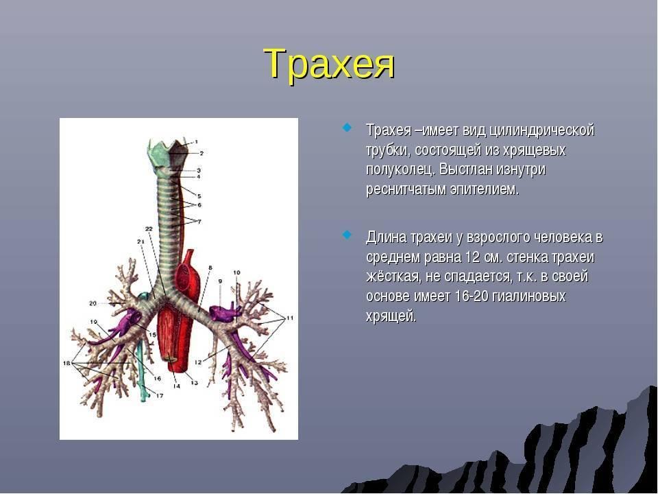 стенки трахеи