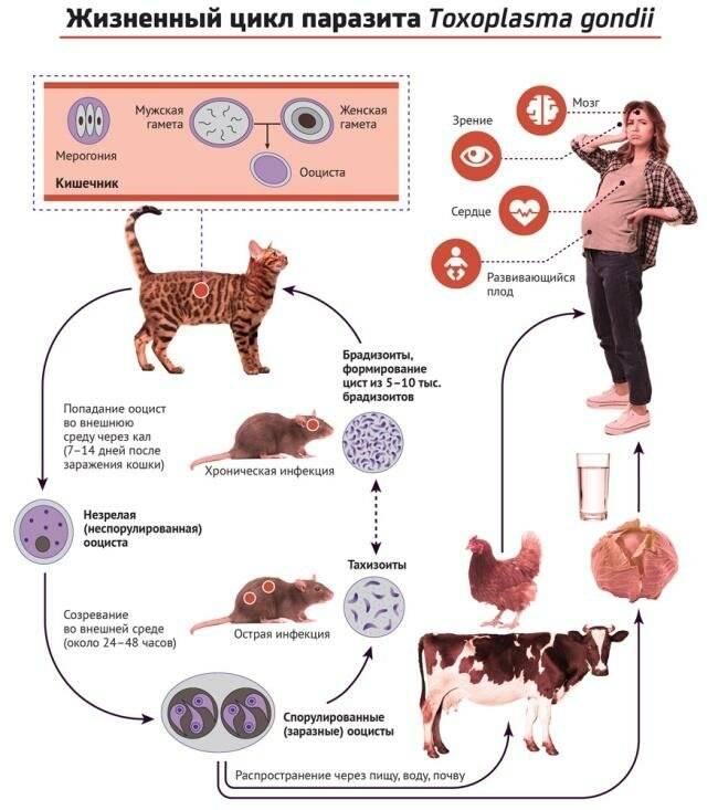 токсоплазмоз симптомы у человека пути передачи