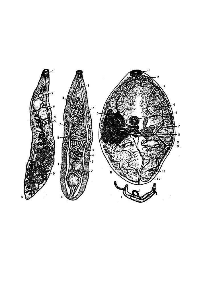 Жизненный цикл ланцетовидного сосальщика и его угроза для человека