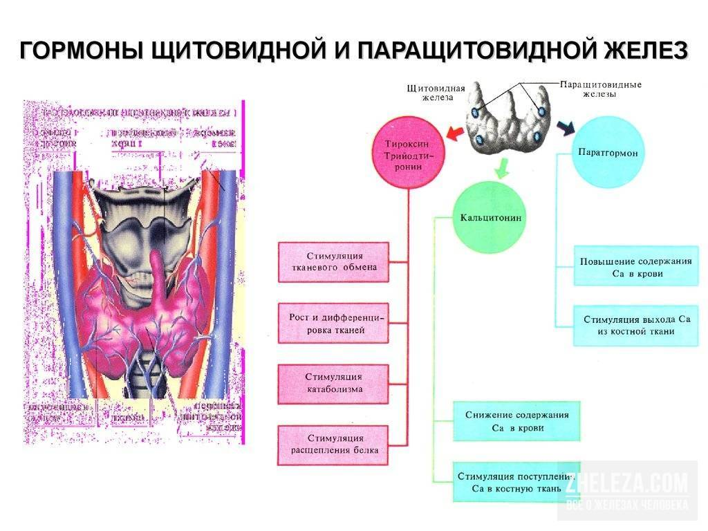 Паратиреоидный гормон повышен: что это значит, лечение