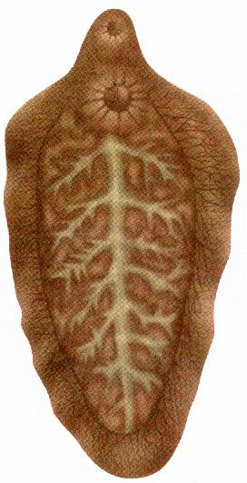 печеночный сосальщик симптомы у человека